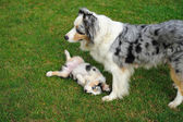 Australian Shepherd aussie with puppy in game — Stock Photo
