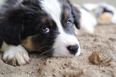 Tired Australian Shepherd aussie puppy — Stock Photo