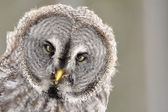 Great Grey Owl isolated portrait — Stock Photo
