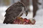 Arranged photography Northern Goshawk sitting on dead rabbit — Stockfoto