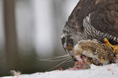Arranged photography Northern Goshawk sitting on dead rabbit — Stok fotoğraf