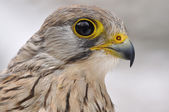 Common Kestrel portrait — Stock Photo