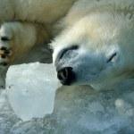Sleeping polar bear — Stock Photo