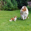 Chihuahua and Australian Shepherd frolic on the garden — Stock Photo