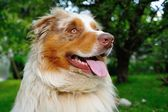 Cute looking face of Australian Shepherd — Stock Photo