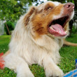 Australian Shepherd with open mouth — Stock Photo