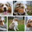 Australian Shepherd photo set — Stock Photo
