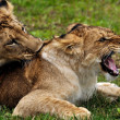 Stock Photo: Lions in courtship game