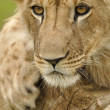 Stock Photo: Lion stare
