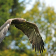 Steppe Eagle flying before trees — Stock Photo