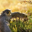 Peregrine Falcon sitting on ground — Stock Photo #35444735