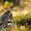 Peregrine Falcon sitting on ground — Stock Photo #35444771