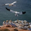 Northern Gannet flying above birds colony — Stock Photo