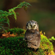 Boreal Owl standing on the moss — Stock Photo