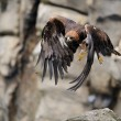 Stock Photo: Flying Golden eagle with rock in background