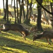Fallow deers in rut fight — Stock Photo