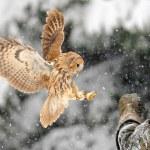 Landing tawny owl on glove — Stock Photo #35447599