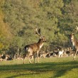 Fallow deers before herd — Stock Photo