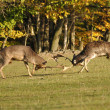 Fighting fallow deers in rut — Stock Photo