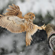 Landing tawny owl on glove — Stock Photo