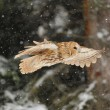 Flying tawny owl — Stock Photo