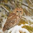 Tawny owl in winter — Stock Photo