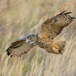 Flying Eurasian Eagle-Owl — Stock Photo