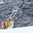 Australian Shepherd guard in winter time — Stock Photo