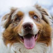 Australian Shepherd face — Stock Photo