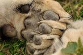 Lion paw — Stock Photo