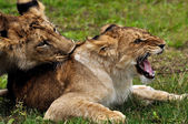 Lions in courtship game — Stock Photo