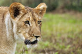 Lioness on savanna — Stock Photo
