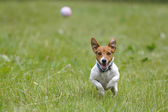 Running dog for a ball — Stock Photo