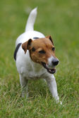 Jack russell terier currying ball — Stock Photo