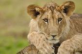 Lion cub portrait — Stock Photo