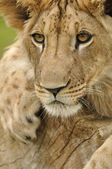 Lion stare — Stock Photo