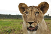 Lion head with fence in background — Stock Photo