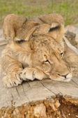 Lion sleeping on tree — Stock Photo