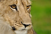 Lion face detail with green background — Stock Photo