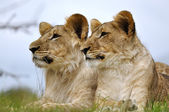 Lion couple on grass — Stock Photo