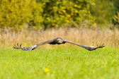 Steppe Eagle flying above the ground — Stock Photo