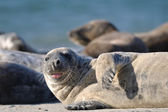 Harbor seal stick one's tongue out — Stock Photo