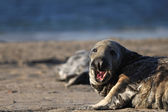 Harbor seal with open mouth — Stock Photo