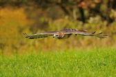 Flying Red-tailed Hawk — Stock Photo