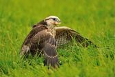 Eating Lanner Falcon on the ground — Stock Photo