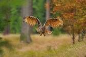 Flying Eurasian Eagle Owl — Stockfoto