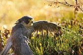 Peregrine Falcon sitting on the ground — Stock Photo