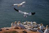 Northern Gannet flying above birds colony — ストック写真