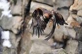 Flying Golden eagle with rock in background — Stock Photo