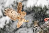 Landing tawny owl on glove — Stock Photo